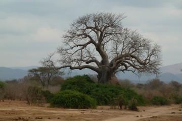 Baobab Tree in Zambia. Photo by Susan Lanier-Graham