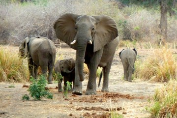 Elephants in South Luangwa NP by Susan Lanier-Graham