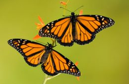 Monarch Walk series begins at Butterfly Wonderland