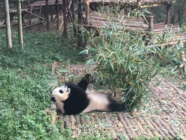 A panda eating bamboo at the Chengdu Panda Research Base. Photo by Teresa Bergen