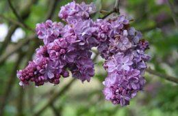 Washington Lilac Blossoms
