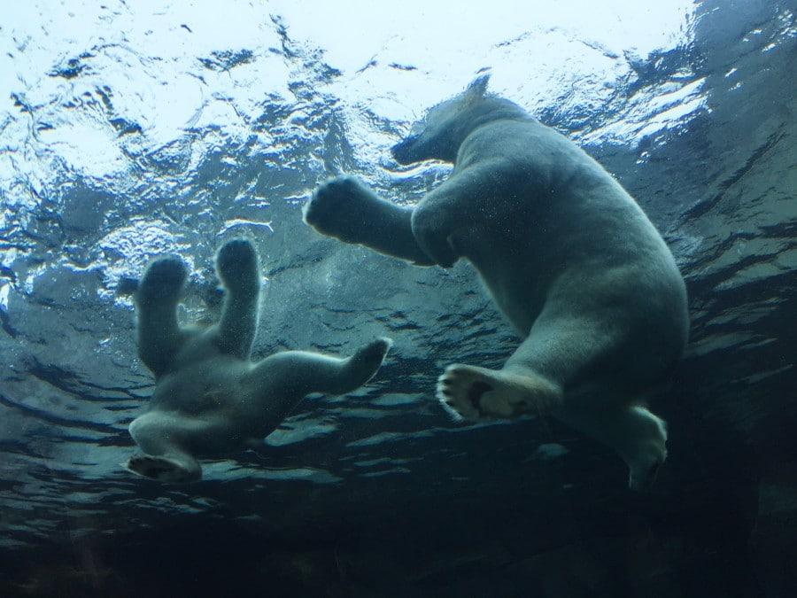 Polar bears winnipeg