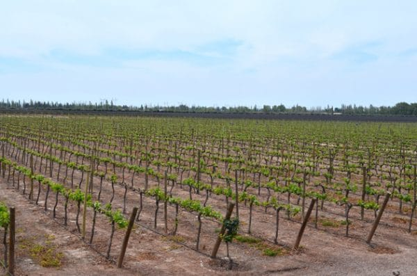 The Mendoza vineyards of Trivento in mid October - Remembering Mendoza