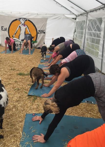 Goat Yoga Corvallis Oregon