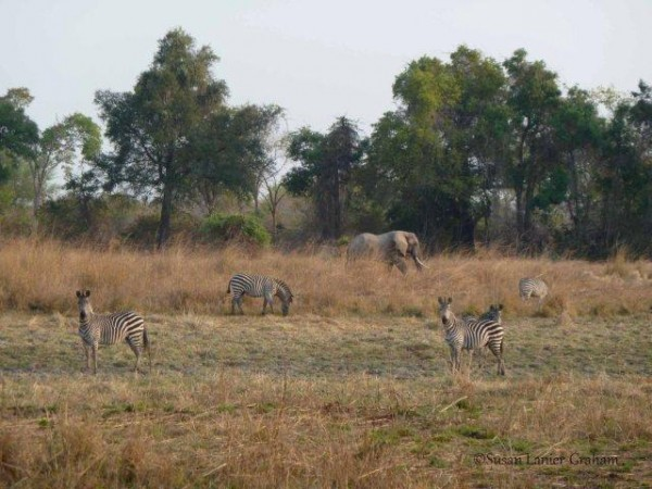 Zebra and Elephants in Zambia