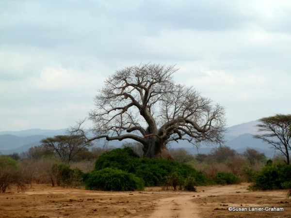 Baobab tree, Lower Zambezi National Park near Chiawa Camp