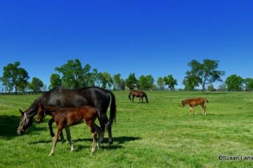 Thoroughbreds graze in Lexington KY
