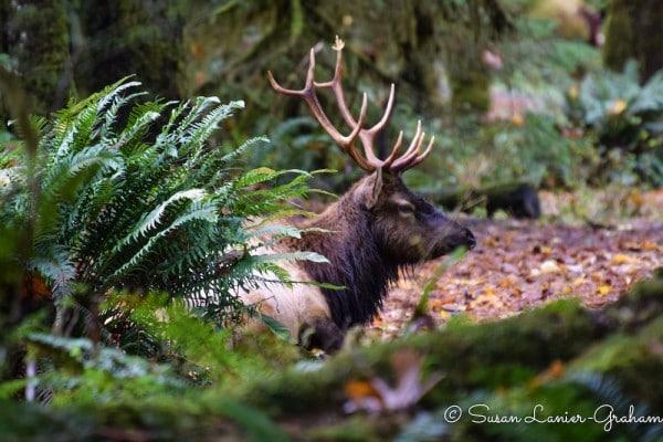 Elk in Olympic National Park. Photo by Susan Lanier-Graham