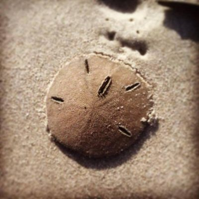 Lucky visitors find sand dollars