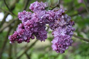 Washington Lilac Blossoms