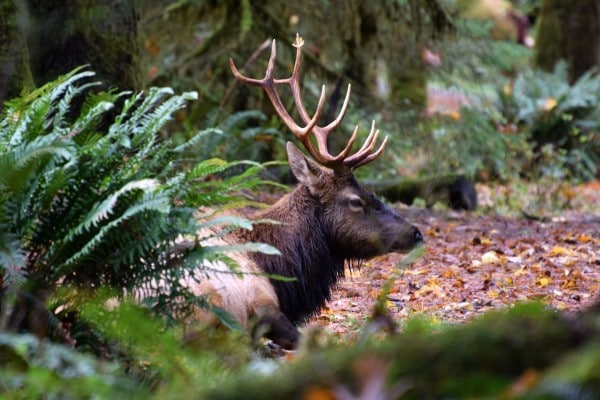 Elk in the Hoh Rainforest - Olympic National Forest. Photo by Susan Lanier-Graham
