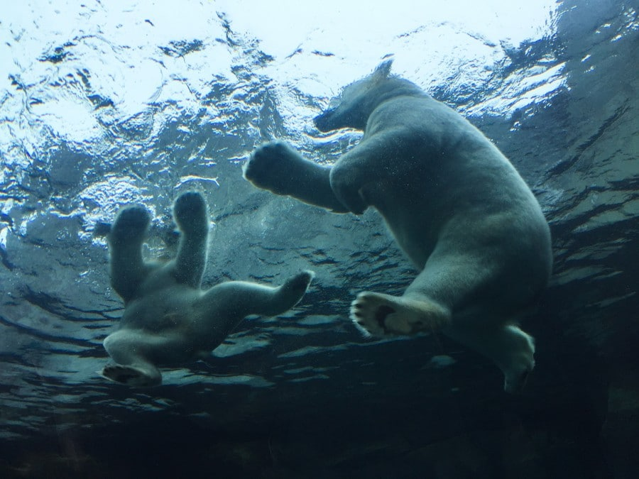 Polar bears winnipeg