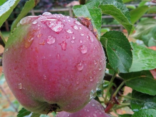 Apple on The Fruit Loop