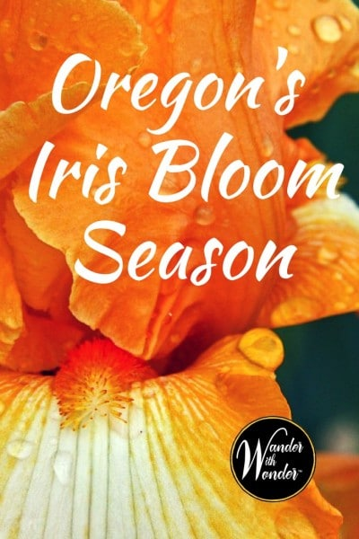 May is Iris Bloom Season in Oregon. Head to the family owned Schreiner Iris Garden and explore the colorful blooms of over 500 named varieties of iris.
