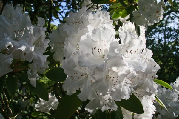 Crystal Springs Rhododendron