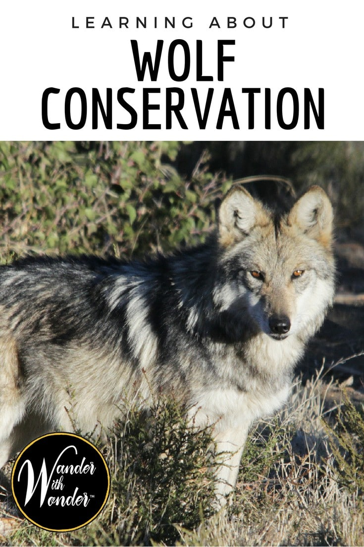 Wander along and learn about wolf conservation at the California Wolf Center, located just outside the southern California mountain town of Julian. #California #Wolf #CaliforniaWolfCenter #animals