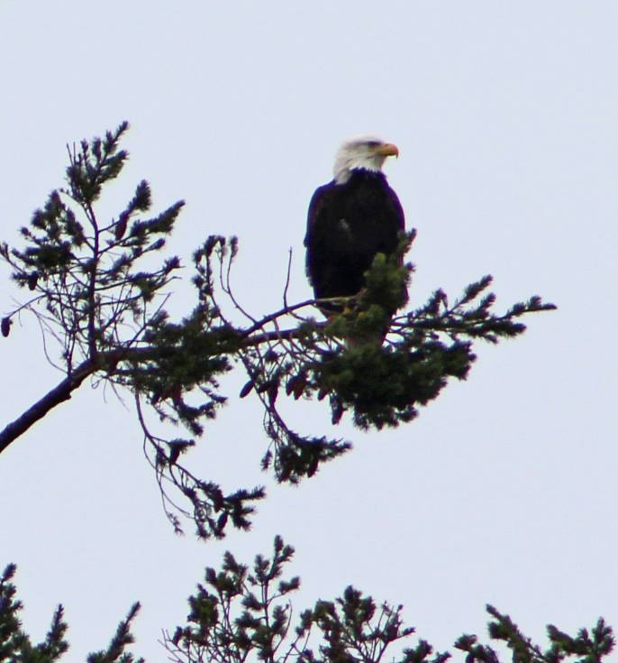 Sequim Washington Eagle