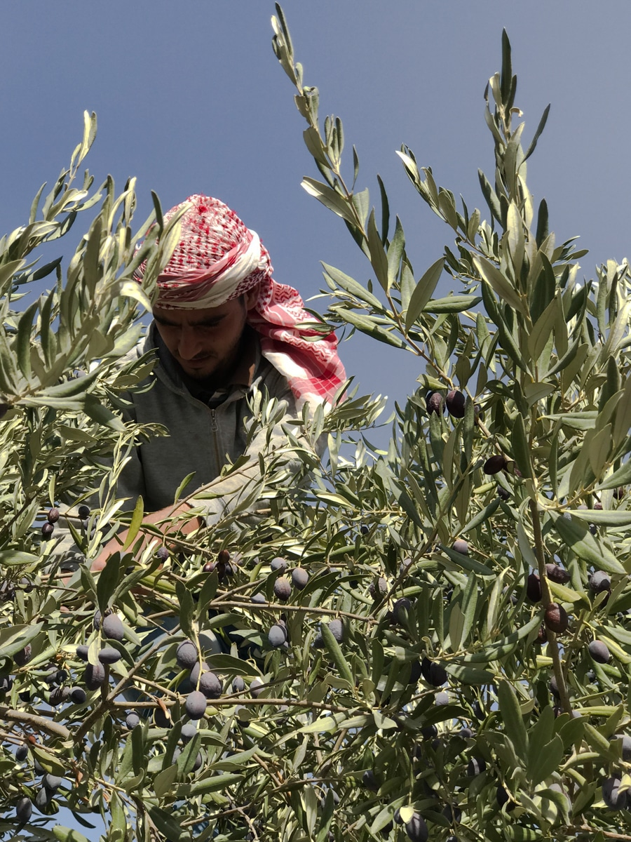 olive harvest Jordan culinary moments