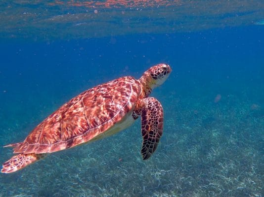 Spot a sea turtle and other ocean live while snorkeling when you visit Belize