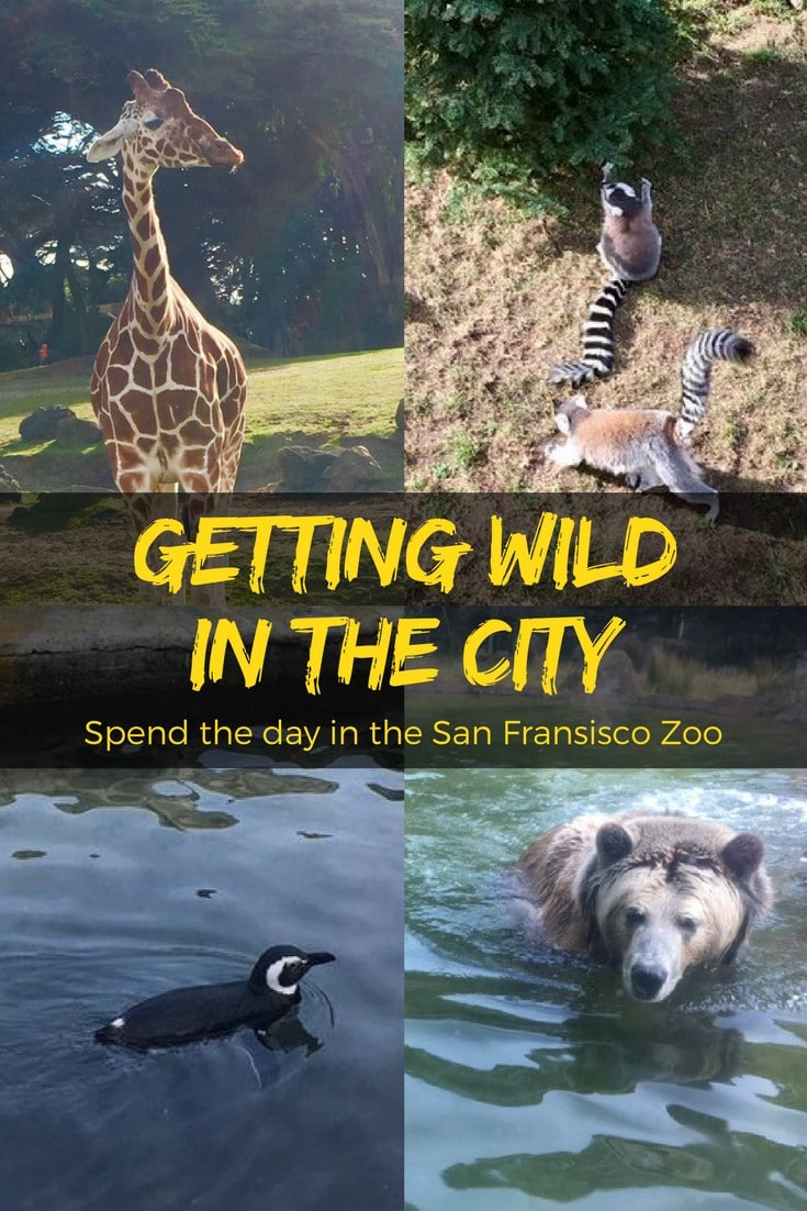 The San Francisco #Zoo, tucked along the western edge of San Francisco on Ocean Beach, is a place to enjoy for everyone from toddlers to grandmas. #WanderCalifornia #familytravel #wildlife #travel #SanFrancisco