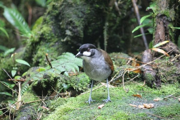 The Jocotoco Antpitta spotted on a wellness retreat in Ecuador