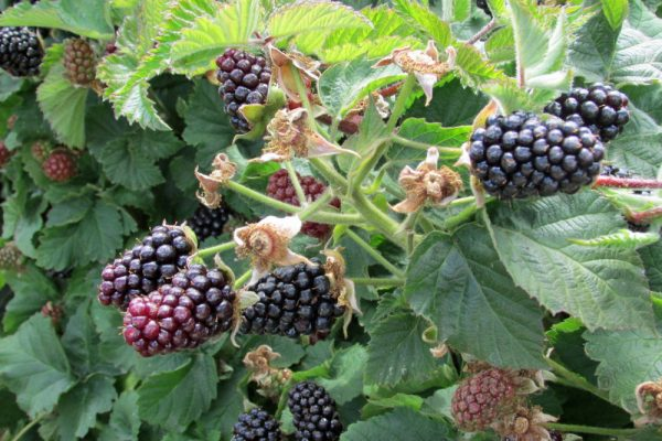 Pacific Northwest Berries