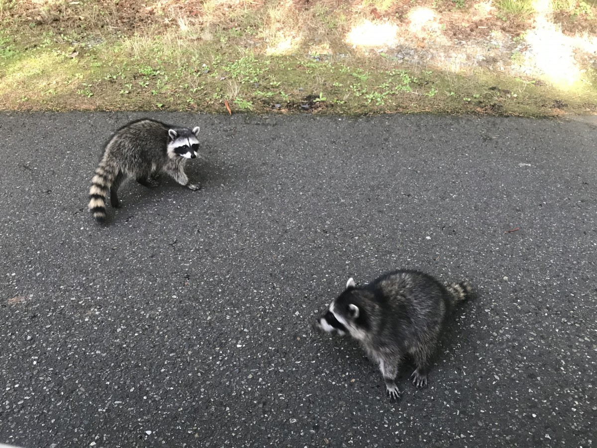 Two raccoons in the street