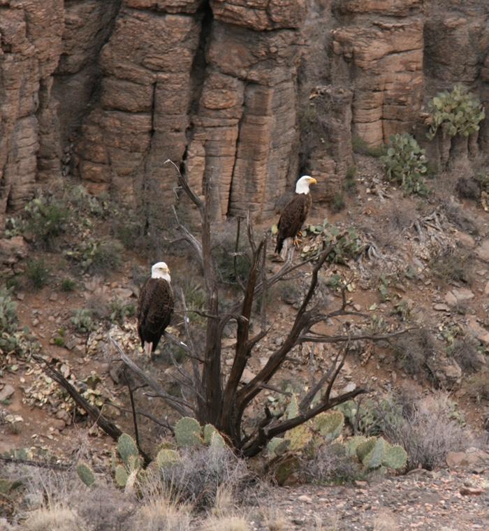 Arizona Eagles - Fall Colors in the Southwest